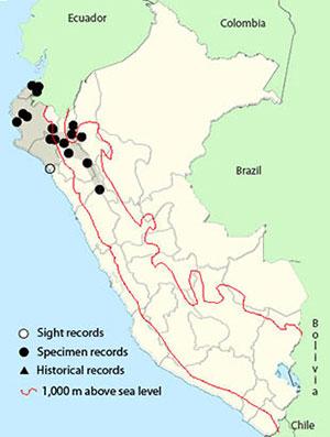 yellow-tailed Oriole _ Icterus mesomelas