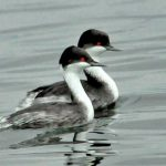 The Junin Grebe and other Endangered Andean Grebes