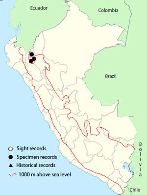 Maranon Crescent-chest- Melanopareia maranonica