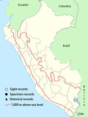 white-banded Mockingbird - mimus triurus