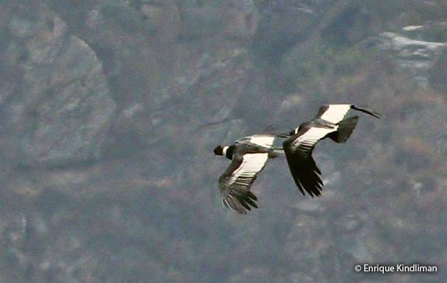 Andean Condor Vultur Gryphus Peru Aves