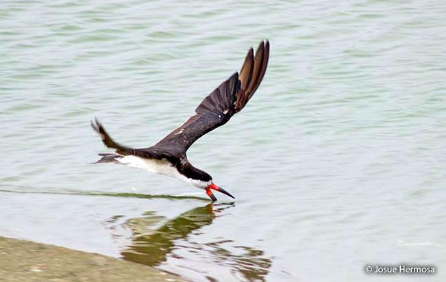 Black Skimmer (Rynchops niger) - Peru Aves