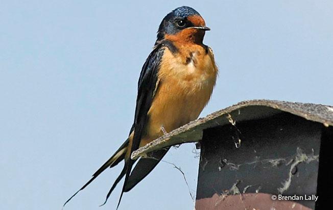 Barn Swallow (Hirundo rustica) - Peru Aves
