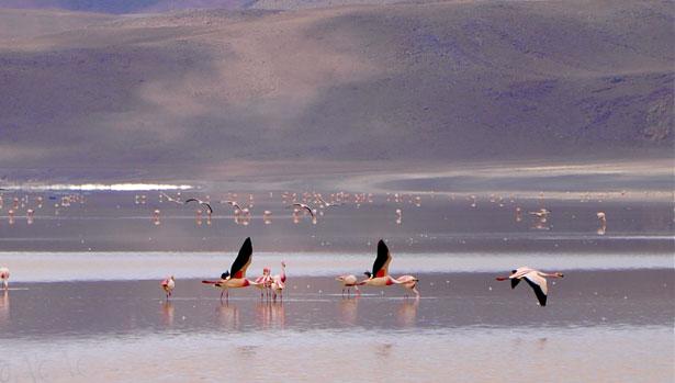 alkaline lake - bird habitat  Peru