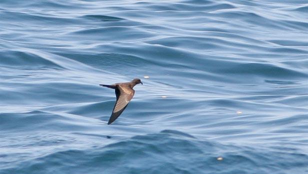 Peru Pelagic birding_birds
