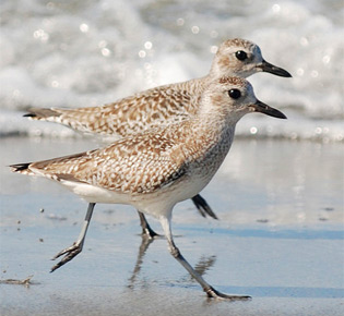 Family Charadriidae - black-bellied plover
