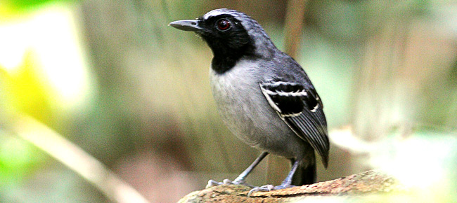 Family Thamnophilidae - black-faced antbird