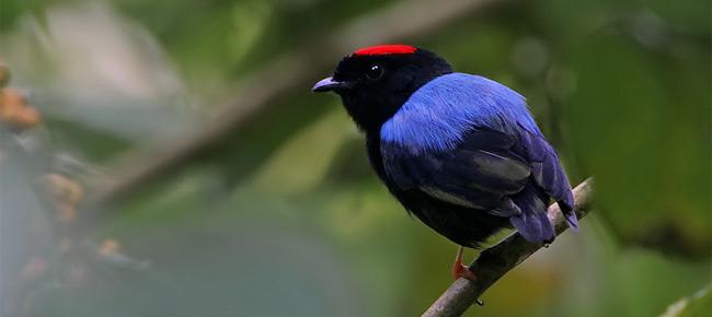 Family Pipridae - blue-backed manakin