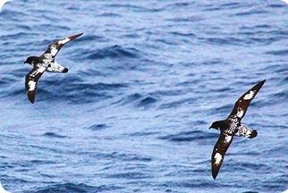 pelagic migrants_peru birds