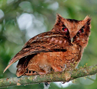 Family Strigidae cinnamon screech owl