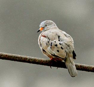 Family Columbide croacking ground dove