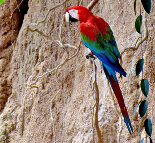 Family Psittacidae - green-winged macaw