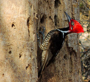 Family Picidae -guayaquil woodpecker