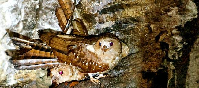 Family Steatornithidae - oilbird