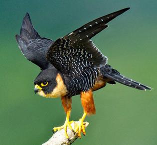 family falconidae - orange-breasted falcon