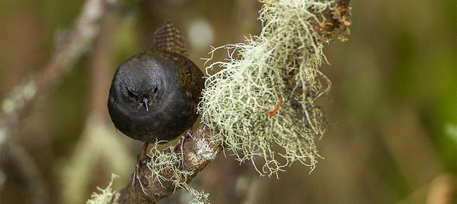 Family Rhinocryptidae - paramo tapaculo