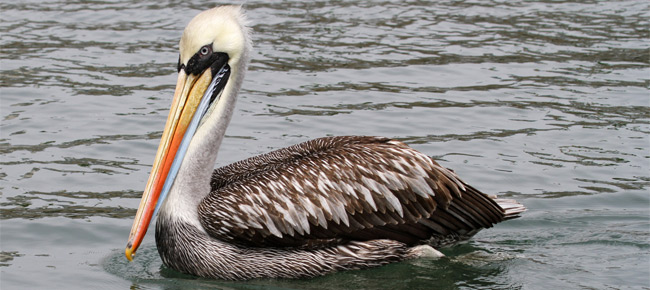Family Pelecanidae - Peruvina Pelican