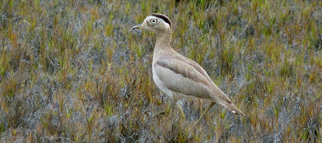 Family Burhinidae - peruvian thick-knee