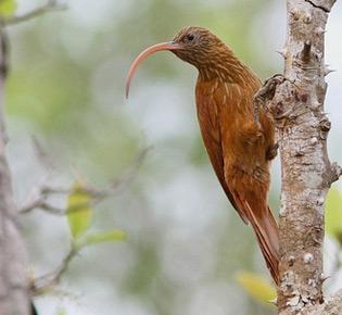 Family Furnariidae - red-belled scythebill