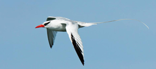 red-billed-tropicbird