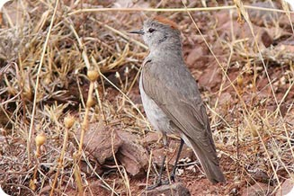 austral or southern migrants_peru