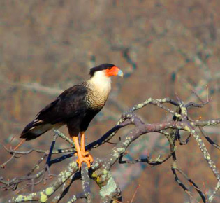 Family Falconidae - southern caracara