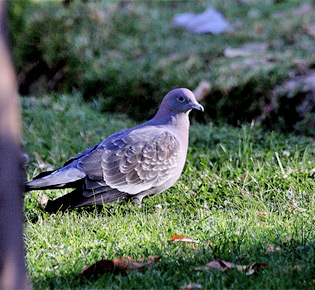 Family Columbide - spot-winged pigeon
