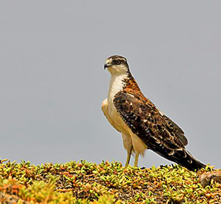 family accipitridae variable hawk