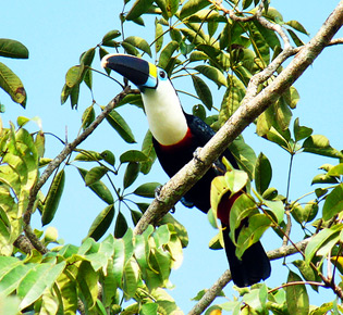 Family Ramphastidae - white-throated toucan