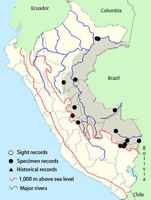 Epaulet Oriole (Icterus cayanensis)