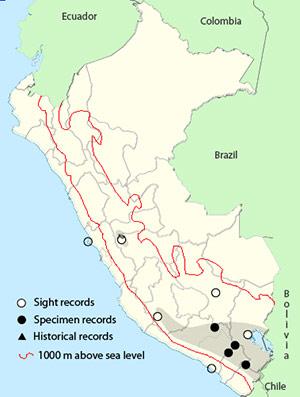 Andean Avocet