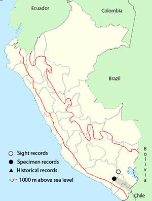 Andean Flamingo - Phoenicoparrus andinus