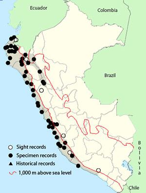long-tailed mockingbird - Mimus longicaudatus