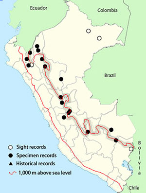 oilbird - Steatornis caripensis
