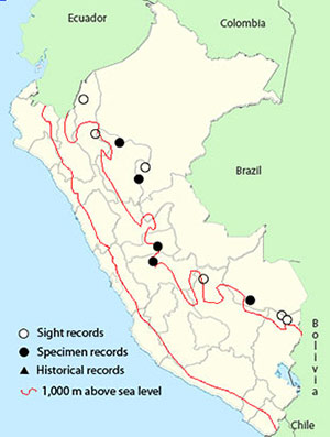 sharpbill - oxyruncus cristatus