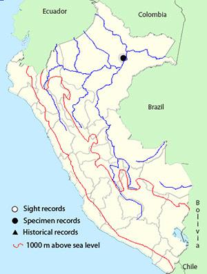Iquitos Gnatcatcher