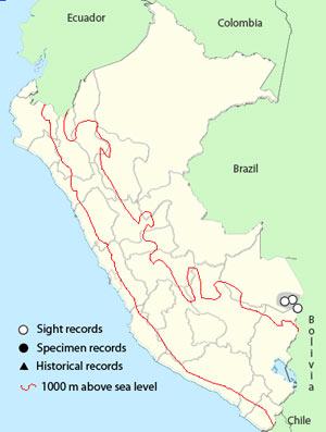 brazilian teal