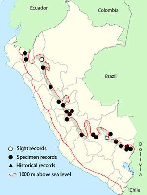 Andean Motmot