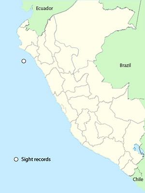 Nazca Booby - Sula granti
