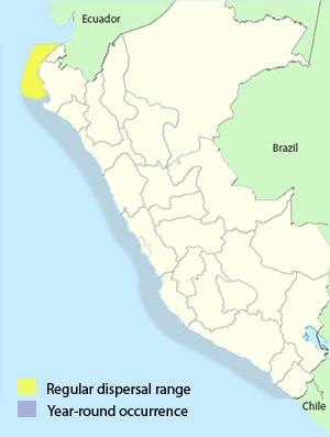 Peruvian Booby - Sula variegata