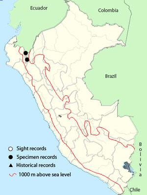 peruvian antpitta