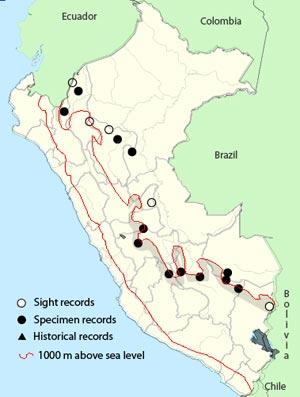 short-tailed-antthrush