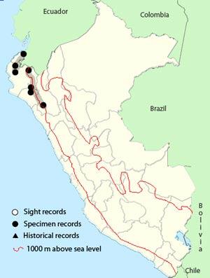 guayaquil woodpecker