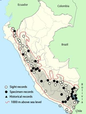 mountain caracara