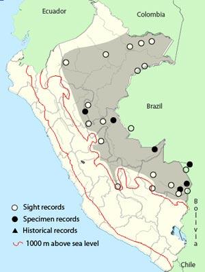 amazoninan-pygmy-owl