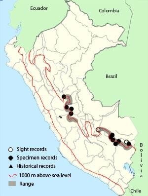 peruvian piedtail