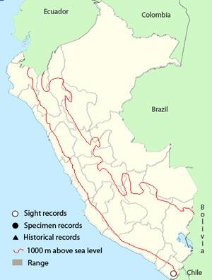 chilean woodstar