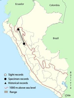 mountain avocetbill