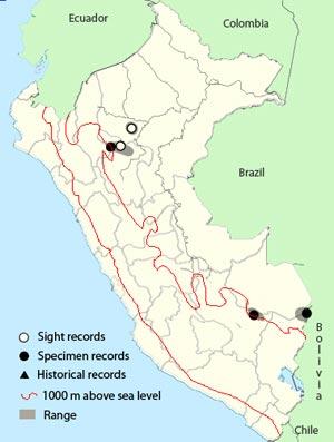 spot-tailed-nightjar