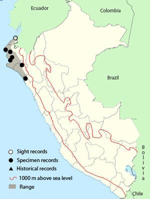 peruvian_swallow